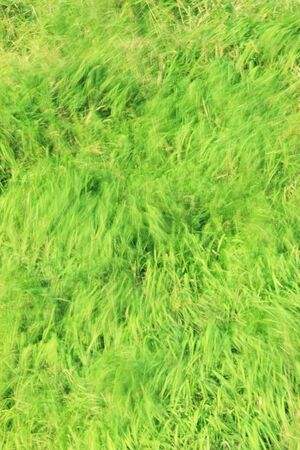 swaying: Grass swaying in the wind