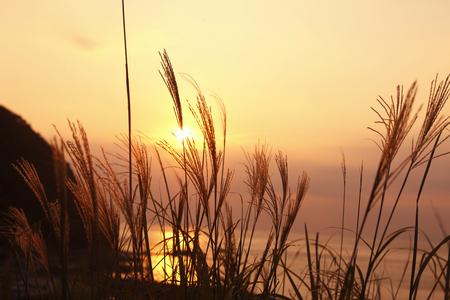 diluted: Pampas grass and sunset of Sadamisaki Stock Photo