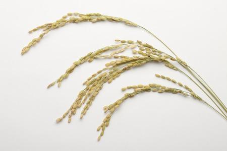 rice plant: Inaho Stock Photo
