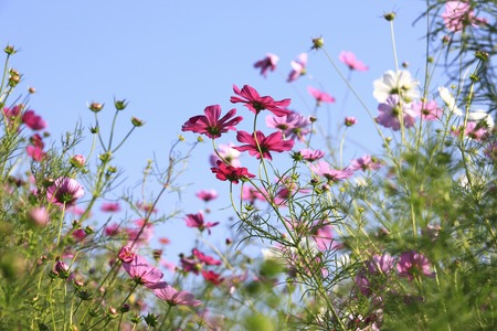 field of flowers: Cosmos Stock Photo
