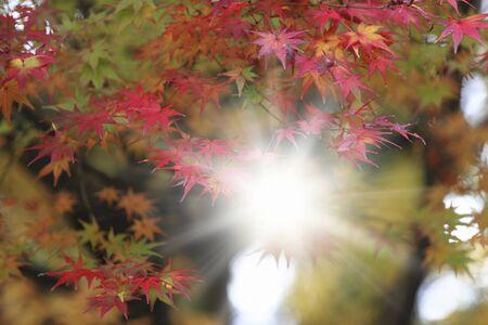 momiji: Arashiyama Momiji