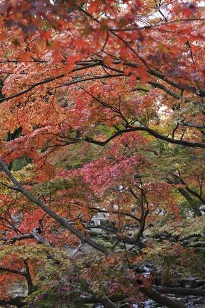 nara park: Maples in Nara Park
