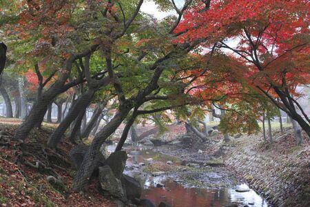 nara: Maples in Nara Park