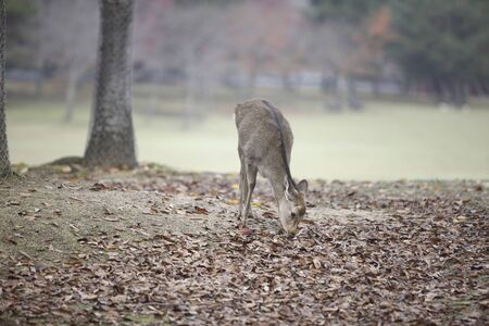 nara park: NARA Park deer Stock Photo