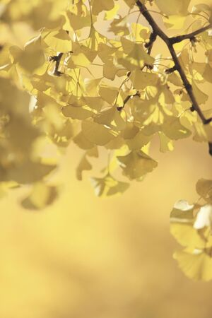 gingko: Mido Gingko