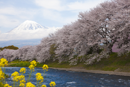 prefecture: River cherry trees and Mt. Fuji