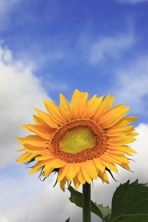 pleasent: Sunflower
