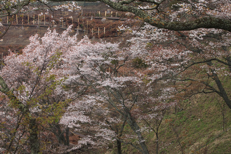 prefecture: Over 1,000 cherry trees