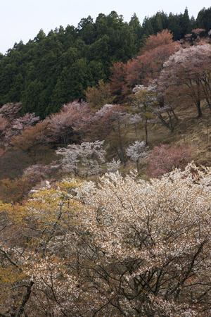 Over 1,000 cherry trees