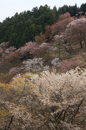 hakusan: Over 1,000 cherry trees