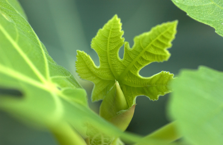 shoots: Shoots of fig