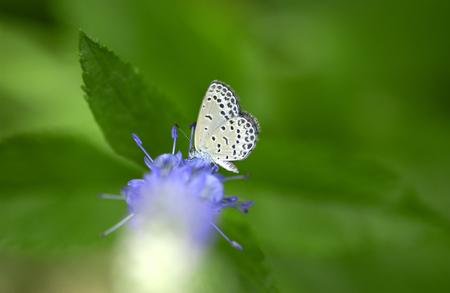 almeja: Almeja de agua dulce de la mariposa