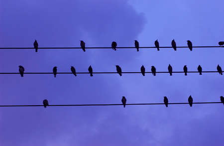 varmint: Birds that stop to the wire Stock Photo
