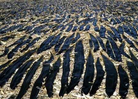 alga marina: Algas Rishiri Foto de archivo