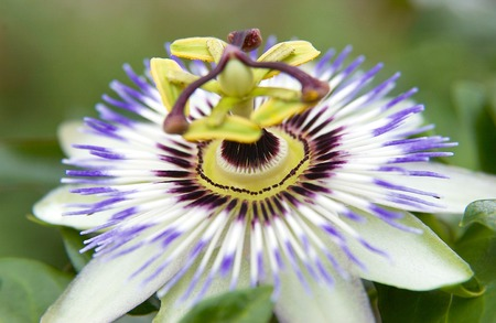 passion flower: Passion flower