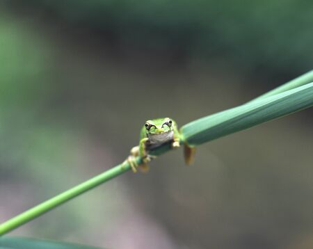 reptilian: Frog Stock Photo