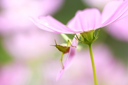 grasshoppers: Grasshoppers and cosmos Stock Photo