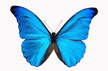 mariposa azul: Blue Butterfly  Foto de archivo