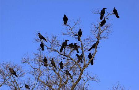 amanecer: Bandada de cuervos