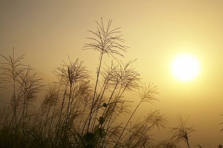 sinensis: Morning mist and Miscanthus sinensis Stock Photo