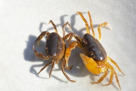freshwater: Japanese freshwater crab