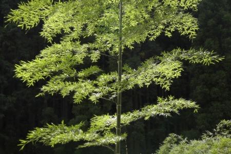 japones bambu: Las hojas de bambú que brilla