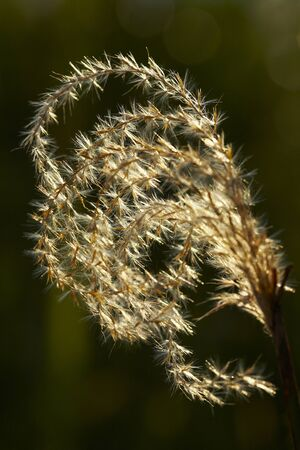 the pampas: Silver grass ear