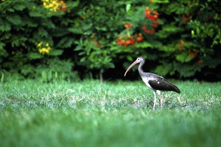 pollitos: polluelos de aves acuáticas
