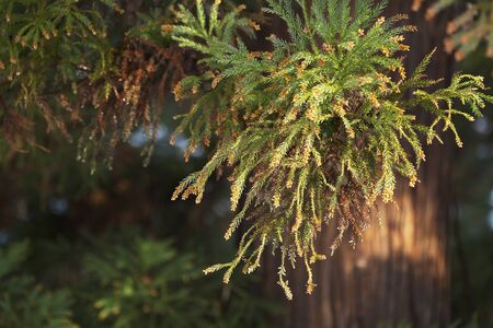 fever plant: Scattering approach cedar pollen real