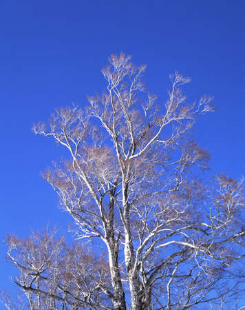 birch trees: Winter birch trees