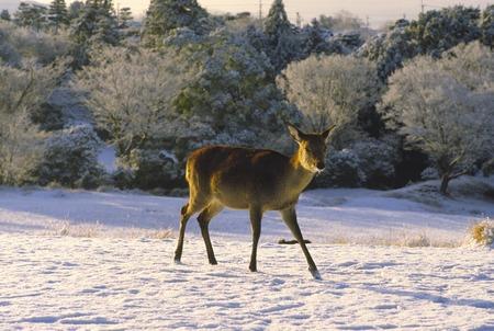 nara park: Snow and deer Stock Photo
