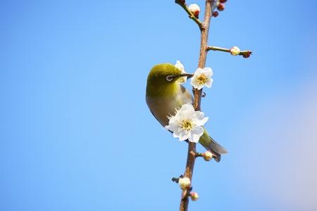osakajo: Plum and Japanese white-eye Stock Photo