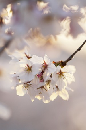 the setting sun: Cherry tree that is lit by the setting sun