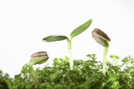germinación: La germinación de girasol