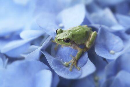 나무 개구리와 수국