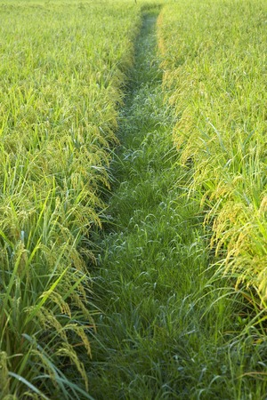 morning dew: Rice to get wet in the morning dew