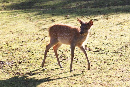 animal only: Fawn Stock Photo