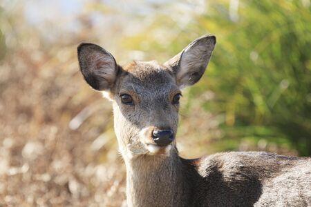 species living: Deer