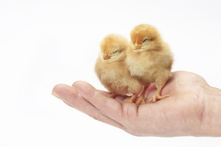 drowse: Chick