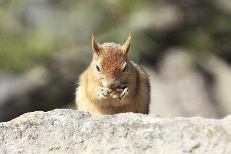 mammalian: Squirrel