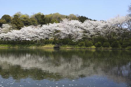 abe: Cherry tree and pond