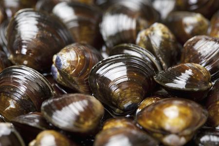 freshwater: Freshwater clam