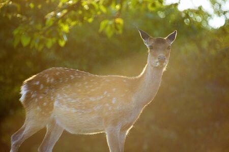 species living: Deer in Nara Stock Photo