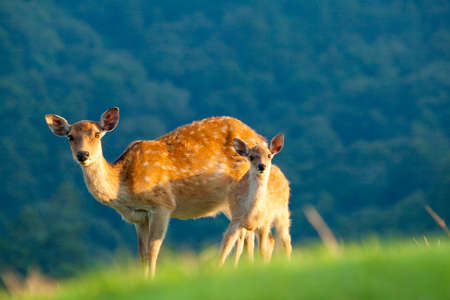 animal only: Nara of parent and child deer
