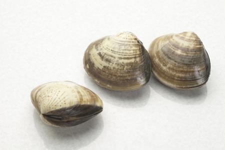 clam: Clam Stock Photo
