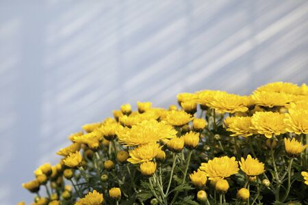 filtering: Indoor chrysanthemum Stock Photo