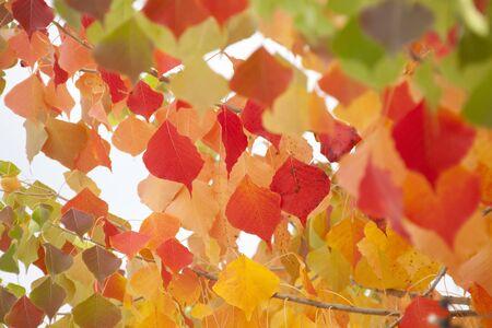 retardation: Chinese tallow leaves