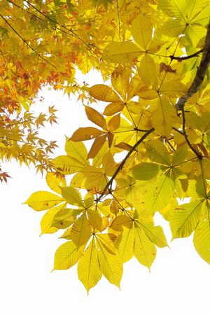 sanyo: Yellow dyed autumn leaves