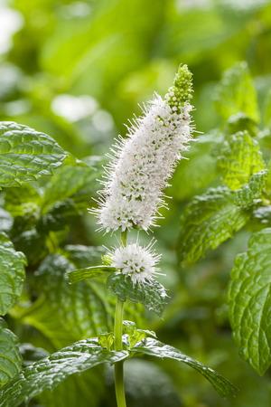 spearmint: Spearmint flowers