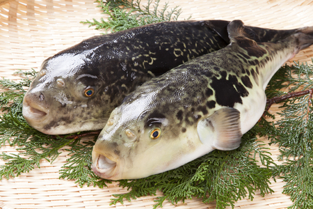 pez globo: Ocellate Puffer Takifugu rubripes